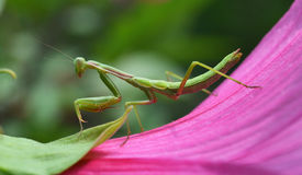 Mantis insect Stock Photos