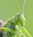 Mantis  insect macro close up Stock Photo