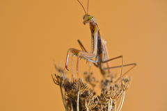 Mantis. Insect sucking on flower Mantis stock photos