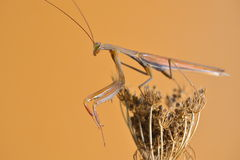Mantis. Insect sucking on flower Mantis royalty free stock images