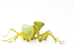 Mantis insect white background Stock Photography