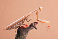 Mantis Insects Closeup Stock Images