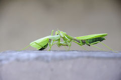 Mantis,internecine. Two mantis kill each other Royalty Free Stock Photography