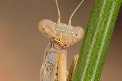 Mantis iris oratoria Stock Image