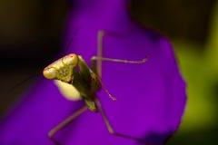 Mantis irritado Imagens de Stock