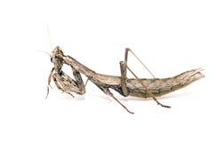 Mantis isolado no branco imagens de stock royalty free