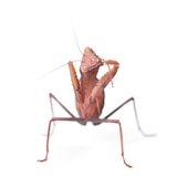 Mantis isolated Stock Image