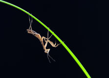 Mantis isolated Stock Photos