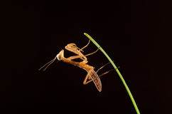 Mantis isolated Royalty Free Stock Image