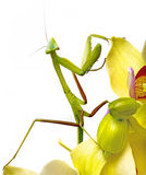 Mantis isolated on an orchid Royalty Free Stock Photo