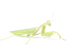 The mantis Royalty Free Stock Image