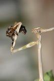 Mantis isst eine Biene stockfoto