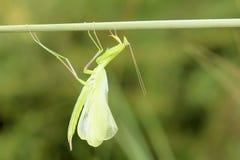 Mantis. The mantis just imaginal moult hung on grass stem. Scientific name: Tenodera sinensis Royalty Free Stock Images