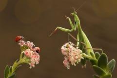 Mantis and ladybugs Royalty Free Stock Image