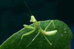 Mantis Larva Stock Photo