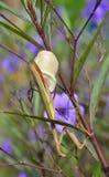Mantis lay eggs. Royalty Free Stock Photo