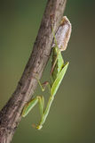 Mantis laying egg case Stock Photos