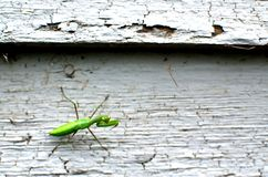 Mantis on Lead Paint Siding royalty free stock photography