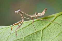 Mantis on leaf Royalty Free Stock Images