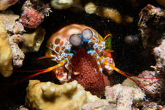 Mantis Lobster defending eggs Royalty Free Stock Photos