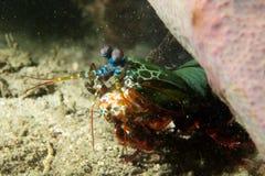 Mantis Lobster defending eggs Royalty Free Stock Image