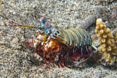 Mantis Lobster defending eggs Stock Photos