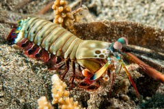 Mantis Lobster defending eggs Stock Images