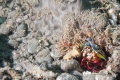Mantis Lobster defending nest Royalty Free Stock Image