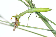 Mantis and locust Stock Photography