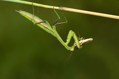 Mantis and locust. The green mantis nymph(Scientific name: Tenodera sinensis) is eating a locust Royalty Free Stock Photo