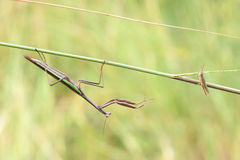 Mantis and locust Royalty Free Stock Photos