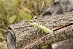 Mantis on a log acacia. Mantis looking at the camera. Mantis insect predator Royalty Free Stock Images