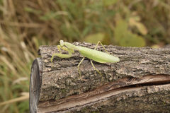 Mantis on a log acacia. Mantis looking at the camera. Mantis insect predator Royalty Free Stock Photo