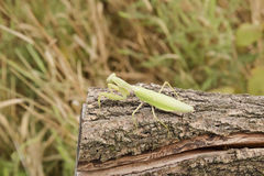 Mantis on a log acacia. Mantis looking at the camera. Mantis insect predator Stock Image