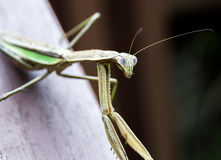 A Mantis looking at the camera. A Mantis sitting on a wooden rail and looking at the camera Stock Photos