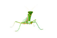Mantis looking at us Royalty Free Stock Photos