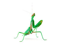 Green Female Mantis on White Stock Photography