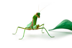 Mantis looking at us Stock Photo