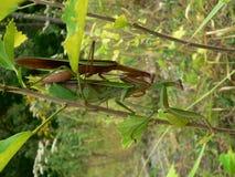 Mantis Love. Praying Mantises Stock Photos