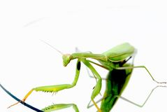 Mantis lying on a round mirror Royalty Free Stock Photography