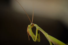 Mantis macro. Mantodea (or mantises, mantes) is an order of insects that contains over 2,400 species and about 430 genera[1] in 15 families worldwide in Stock Image