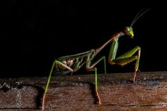 Mantis, macro photography common green mantis or pray mantis. Mantis, macro photography common green mantis or pray mantis isolated on black background Stock Images