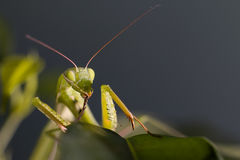 Mantis in macro Stock Images