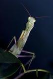 Mantis in macro Stock Photography