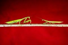 Mantis in macro Stock Photo