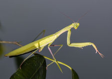 Mantis in macro Royalty Free Stock Images