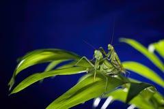 Mantis in macro Stock Photos