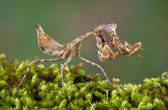 Mantis mangeant le cricket photographie stock