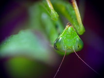 Mantis (Mantis religiosa) Stock Photography