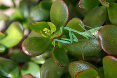 Mantis Mantodea Стоковая Фотография